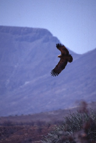 Namibian Eagle