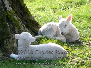 Spring Lambs, Maulds Meaburn