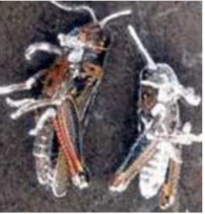 Grasshoppers killed by the entomopathogenic fungus Beauveria bassiana. USDA Photo.