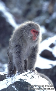 Japanese Macaque, 'Snow Monkey' at Jigokudani