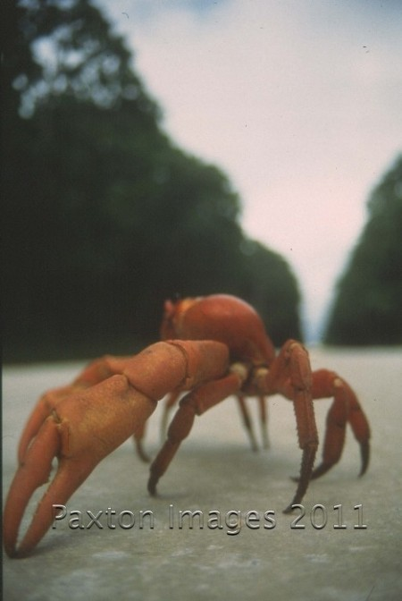 Red Crab, Christmas Island