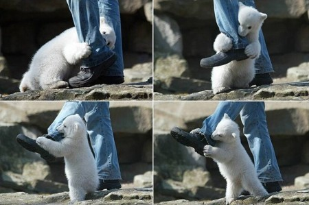 polar bear cub attacks a man in Manitoba