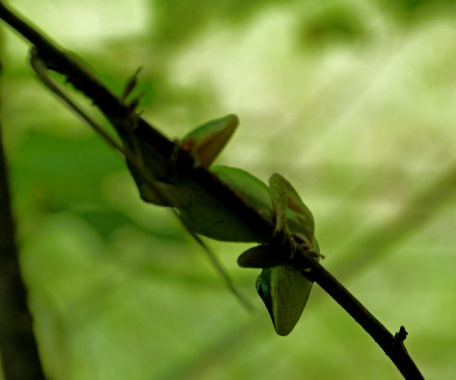 Very capable climbers, Anoles have ridges of scales on their feet that enable them to grip sheer surfaces. C.Paxton photo and copyright.