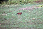 dhole6small