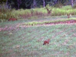 dhole8small