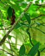 Rough Green Snake, head and neck, in its leafy arborial element in Louisiana